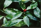 Aucuba japonica female