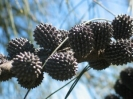 Casuarina stricta/ female tree w/ seed cones