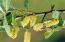 Male willow
