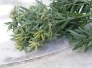 Male Podocarpus