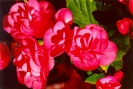 Reiger Begonias-pollen-free