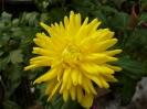 Pollen-Free Chrysanthemum