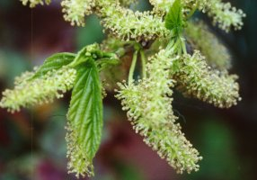 Fruitless Mulberry Tree Pollen Flowers