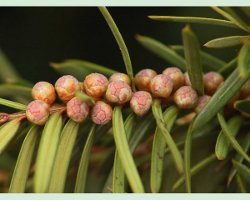 Male Yew Pollen Flowers