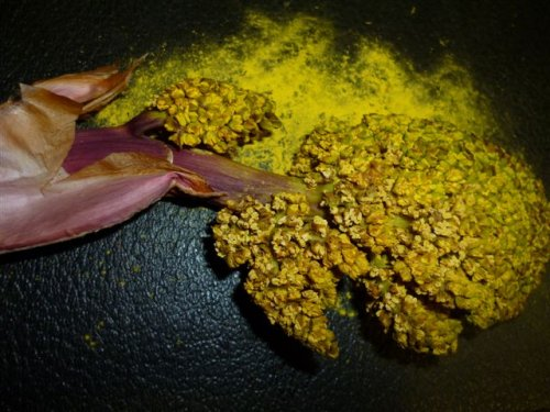 Pollen flowers from European Fan Palm, male tree